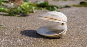Offene Muschel im Sand